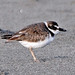 Carol Riddell has added a photo to the pool:Wilson's Plover, Grayland Beach State Park, Pacific County, WA, October 21, 2012. Second state record.ebird.org/ebird/view/checklist?subID=S24844257