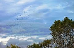 Flocks of starlings