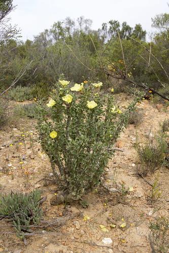Monsonia spinosa ( =Sarcocaulon l'heritieri)