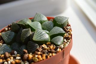DSC_0710 Haworthia comptoniana ハオルチア コンプトニアーナ