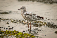 Ring-billed Gull (Larus delawarensis), juvenile