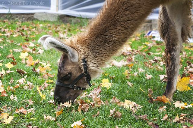 Llama munching