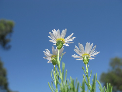 Minuria leptophylla head2 NC
