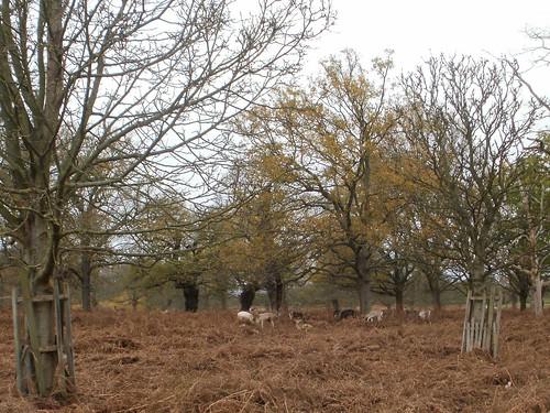 Deer in Richmond Park 1