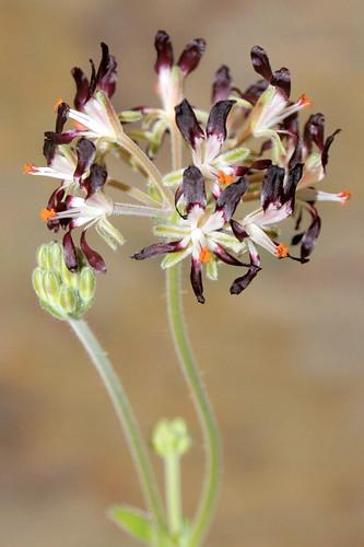 Pelargonium auritum var. auritum