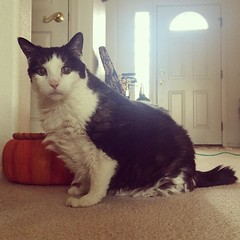 Snoopy The Cat is thankful for each of her twenty three years of life with her human Aunt Donna. #catsofinstagram #cats #keepontruckin #longlife #oldcat #happythanksgiving