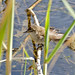 Small photo of Lesser Swamp Warbler (Acrocephalus gracilirostris)