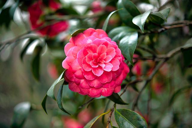 Descanso Pink Flower