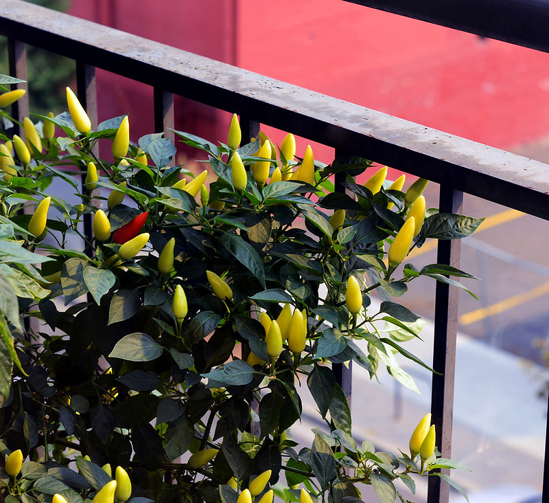 balcony chilis