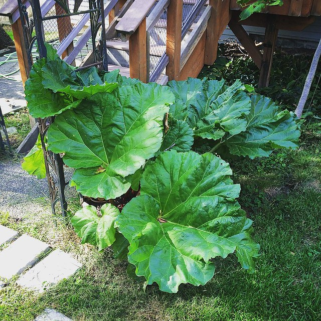 Our rhubarb plant really is the gift that keeps on giving. 💚