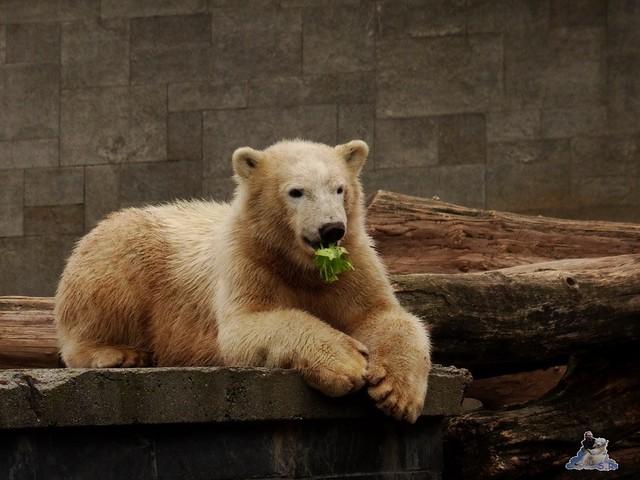 Eisbär Fiete im Zoo Rostock 19-09.2015 Teil 3  065