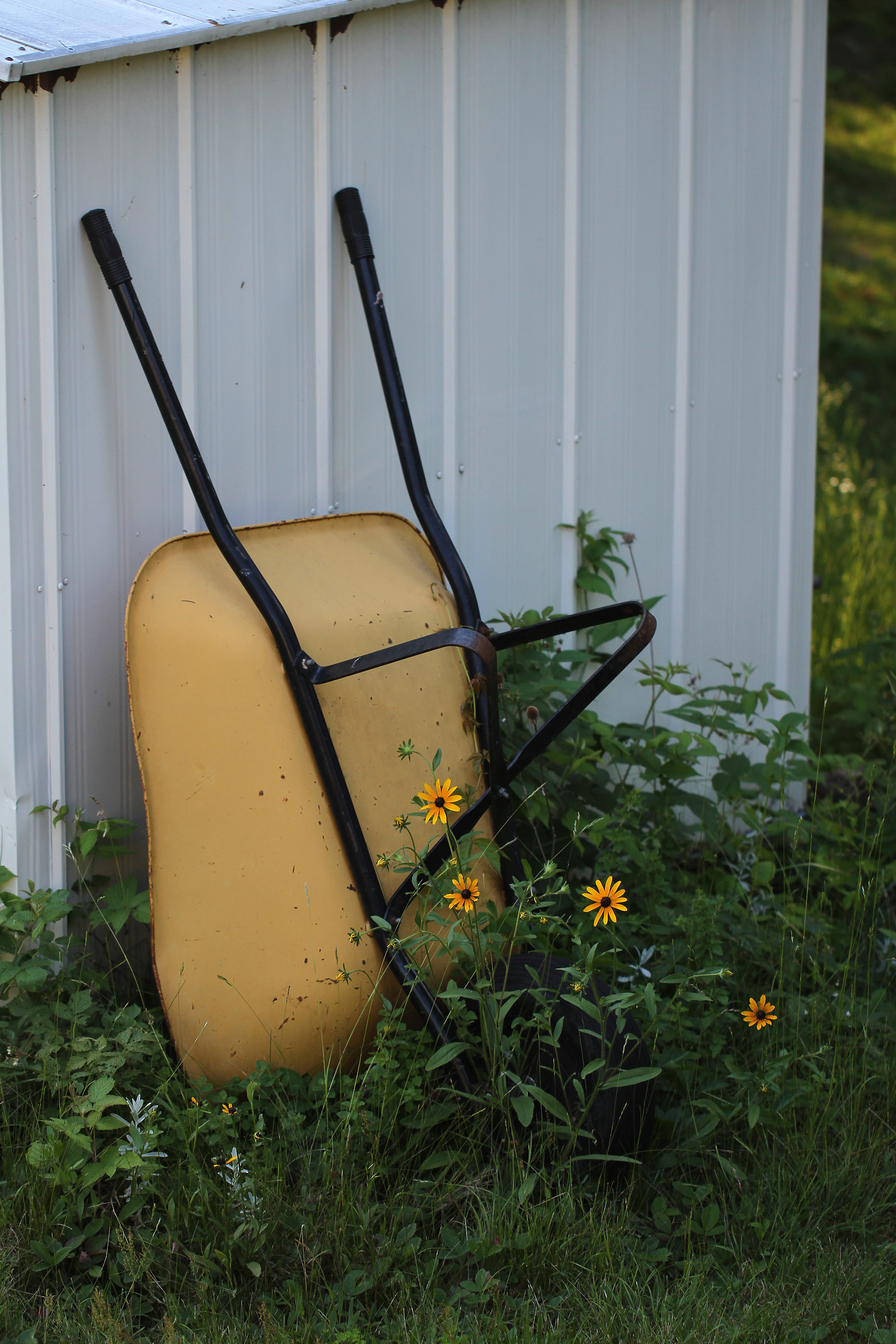 wheelbarrow and black eyed susans