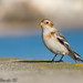Snow Bunting by Spencer Jablonski