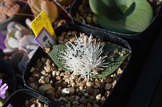 DSC_1622 Massonia Pygmaea SE Leliefontein マッソニア ピグマエア