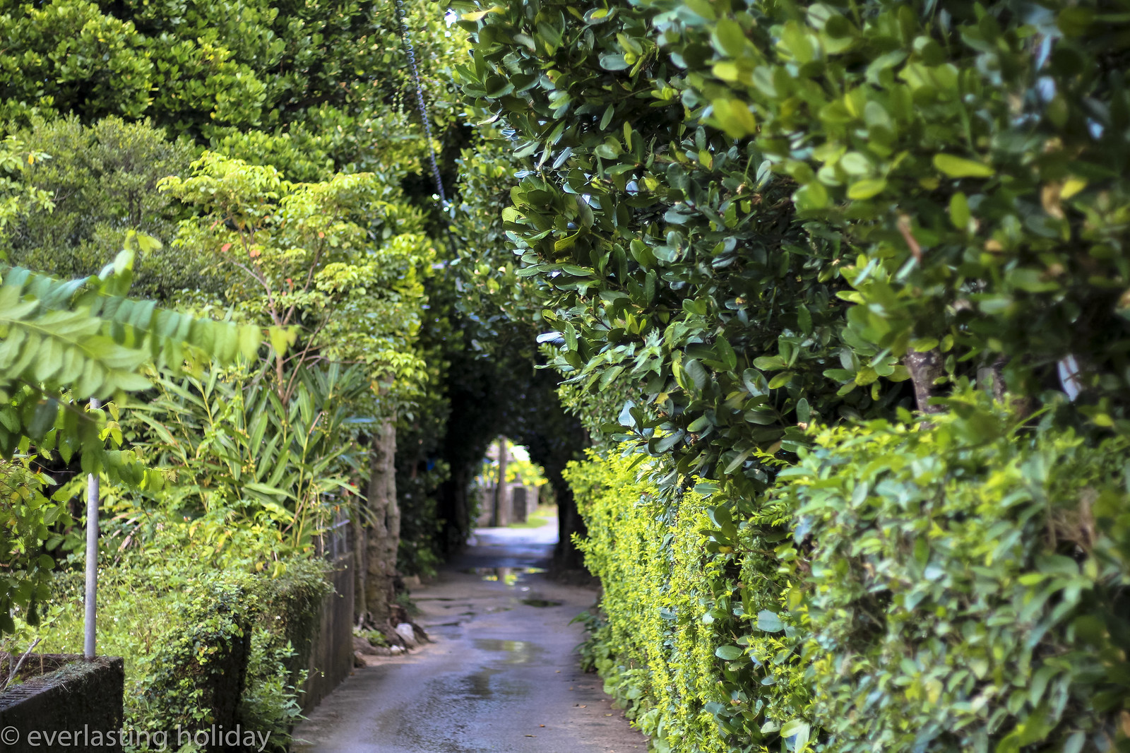 備瀬フクギ並木通り Bise Fukugi Tree Road-0002