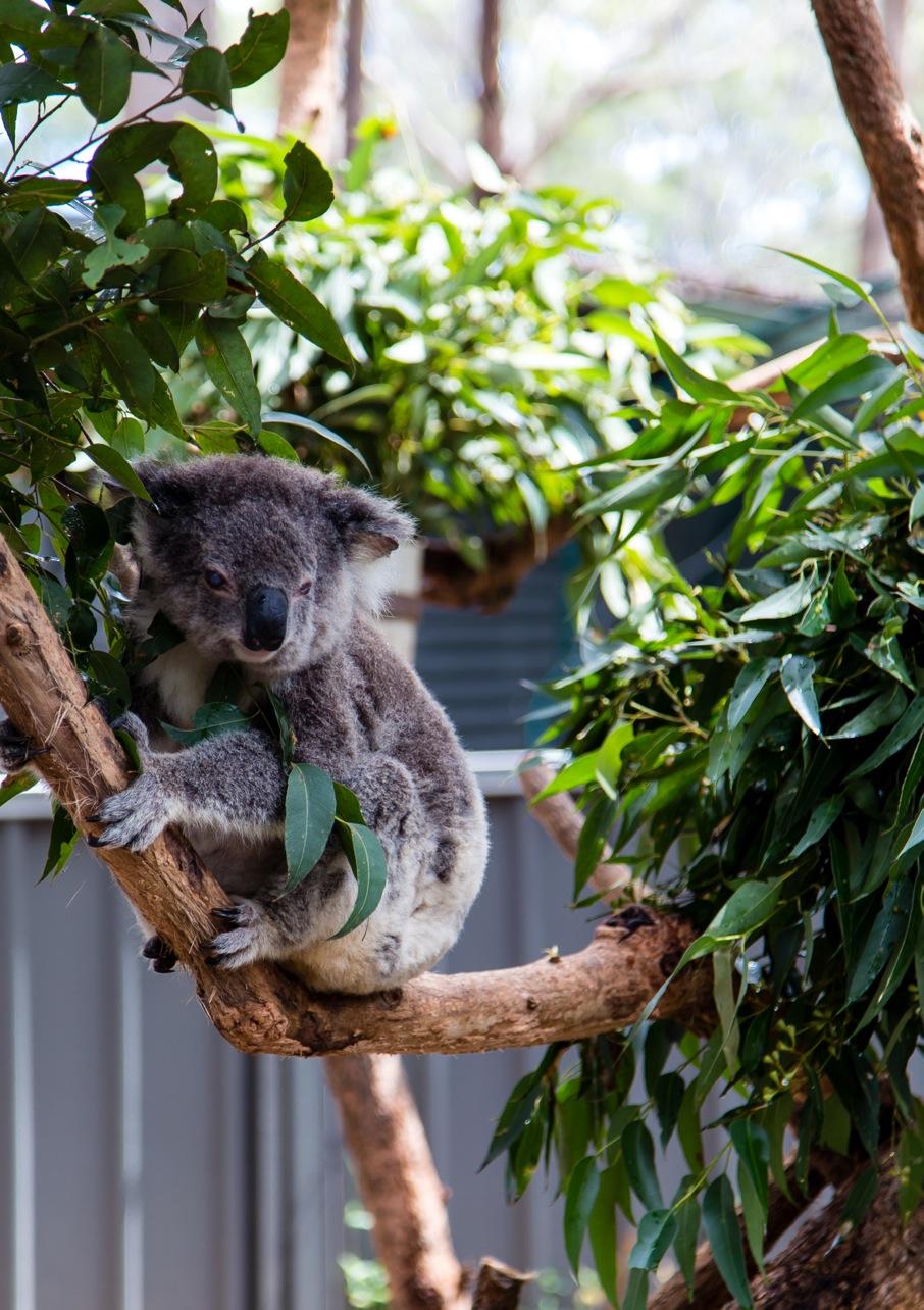 Koala-6084