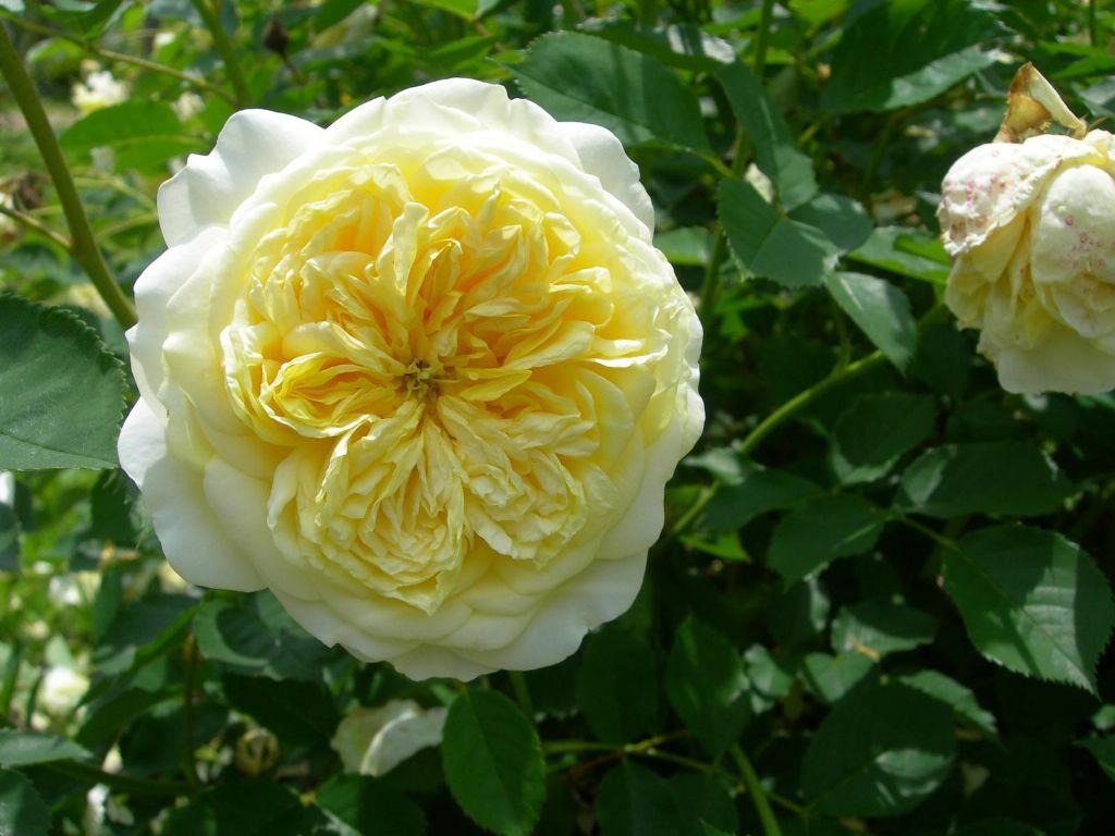 Nhìn tấm này, màu sắc hoa hơi giống cây hồng Juliet khi trồng ở miền Tây, số lượng cánh hoa nhiều, những cánh ngoài cùng màu vàng nhạt và đậm dần khi đi vào tâm