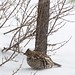 Ruffed grouse_(Peter Dunn)