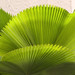 Palm leaves by Tim Ravenscroft