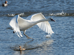 HolderMute Swan - Chase_3
