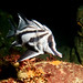Pentaceropsis recurvirostris - Long-snouted boarfish 2 by Marine Explorer