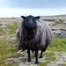 Sheep Stare by stellakim0911