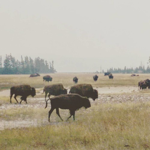 "We stood in a herd of a hundred or so bison.  August is the height of mating season.  We saw some ""dating"" bison.  The courtship was pretty intense."