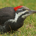 Female Pileated Woodpecker (Dryocopus pileatus) by Don Delaney