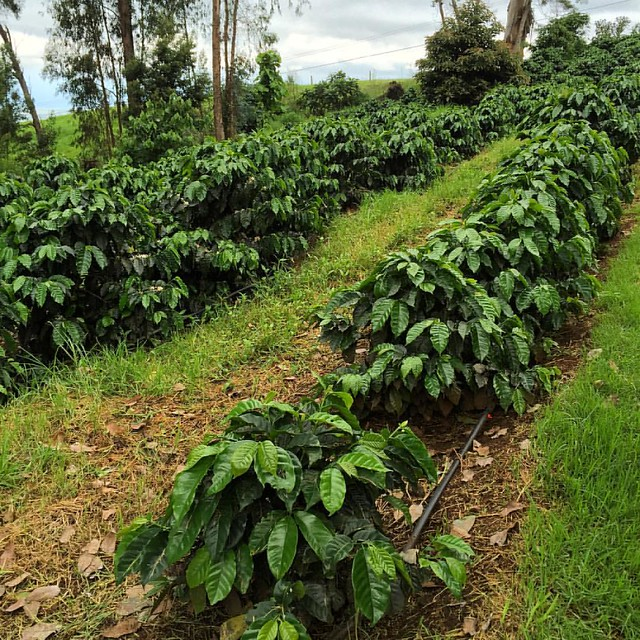 #kvphawaii Coffee plants at O'o Farm in #Maui. Farm tour, picking coffee fruit. Sucking on coffee beans. Cool!!
