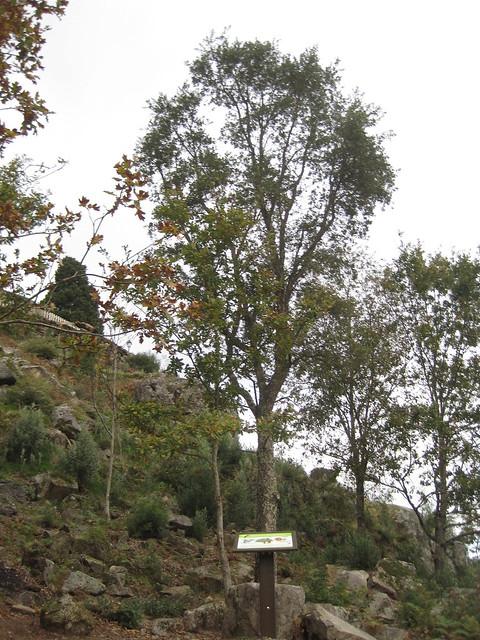 Árbol en la Senda Botánica del Castillo de Sobroso