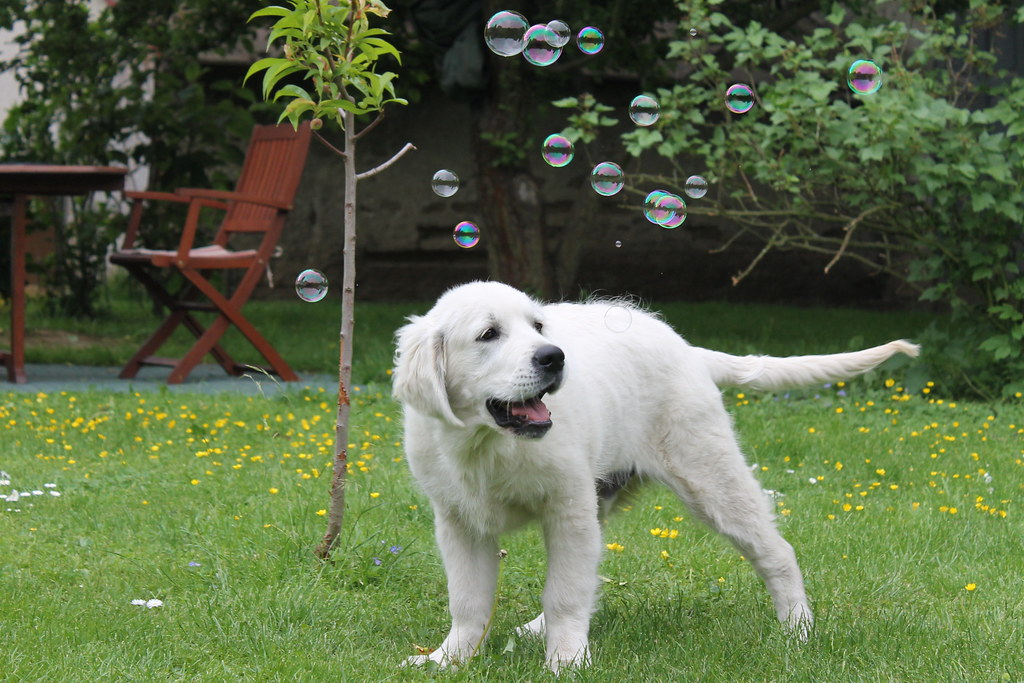 How to tire a puppy: Soap bubbles
