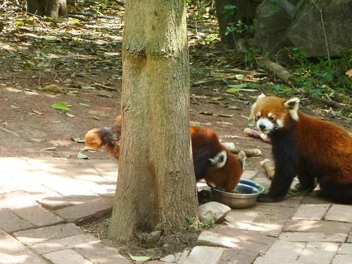 CH-Chengdu-Panda-roux (1)