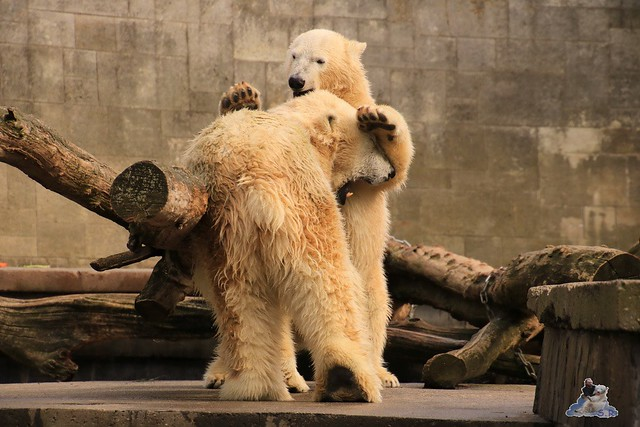 Eisbär Fiete im Zoo Rostock 19.09.2015 Teil 2  0103