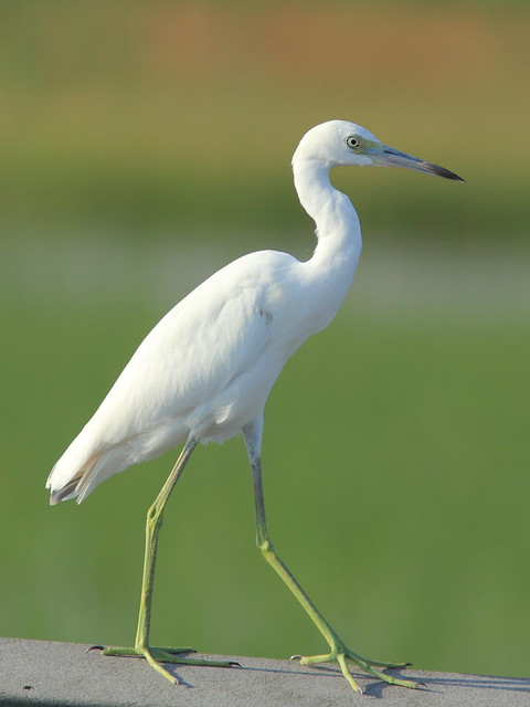 Little Blue Heron 03-20151010