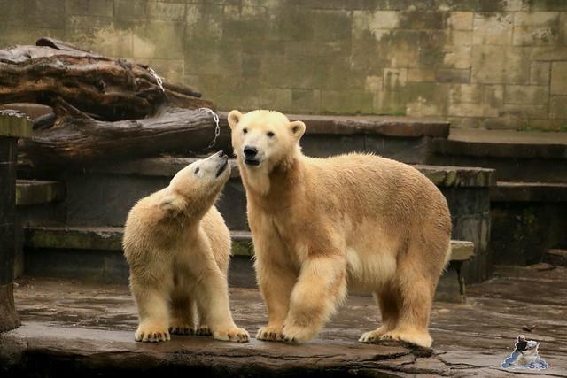 Eisbär Fiete im Zoo Rostock 17.10.2015  029