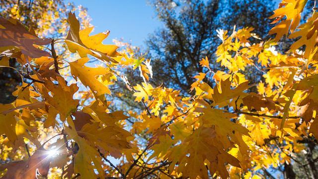 Sunshine, black oaks