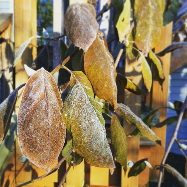 Natural glitter on the leaves this morning (brrrr).