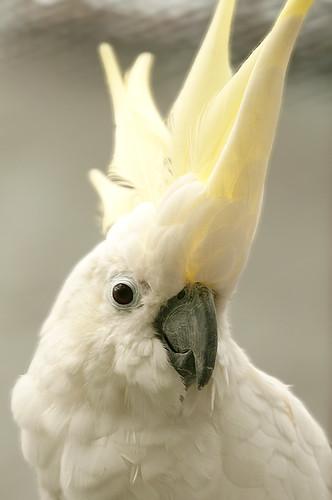 Cacatua sulphurea - Yellow-crested Cockatoo