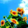 Bunga Matahari | Sun Flower #flower #sun #sunflower #blue #bluesky #green #cloud #cloudy #whitecloud