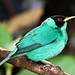 Green Honeycreeper (Dani Free)
