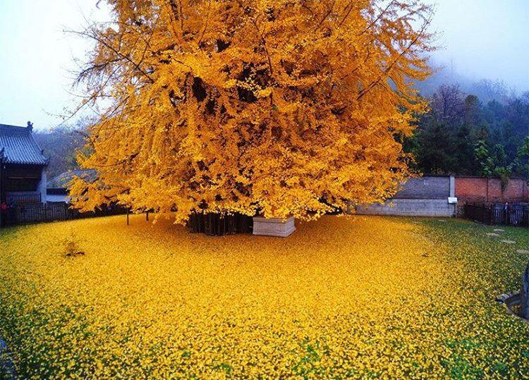 La nostra Terra ci regala questo spettacolo: una pioggia d'oro ha coperto il giardino deltempio buddista di Gu Guanyin, in Cina. Le foglie di un albero di ginkgo sono piovute sul prato, trasformando lo spazio aperto inun mare giallo mozzafiato, uno splend
