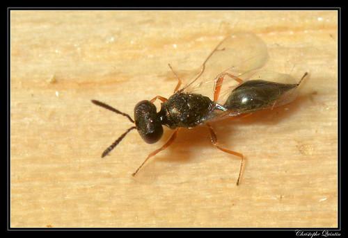 Pteromalidae (Sphegigaster sp. ?)