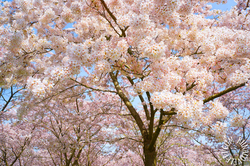 cherryblossoms14