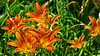 Orange daylily by Coyoty
