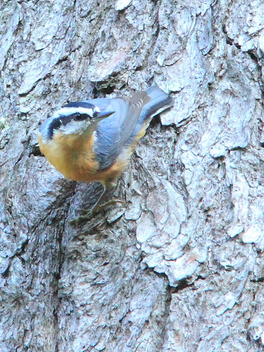 Red-breasted Nuthatch 3-20150905