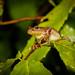 Spring Peeper (Pseudacris crucifer) by DaveHuth
