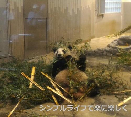 東京1日目、上野動物園パンダ