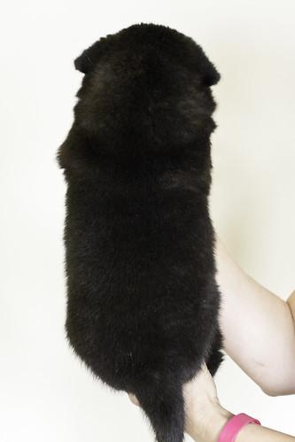 Nori-Litter3-Day33-Pup1(female)b