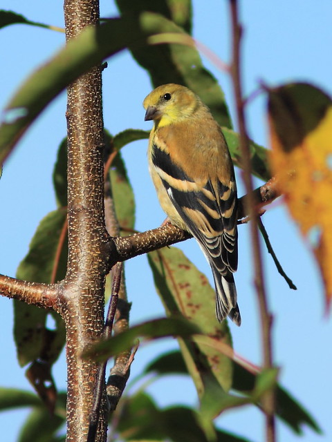 erican Goldfinch 20150926