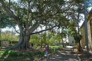 Santa Barbara - Santa Barbara Mission moreton fig